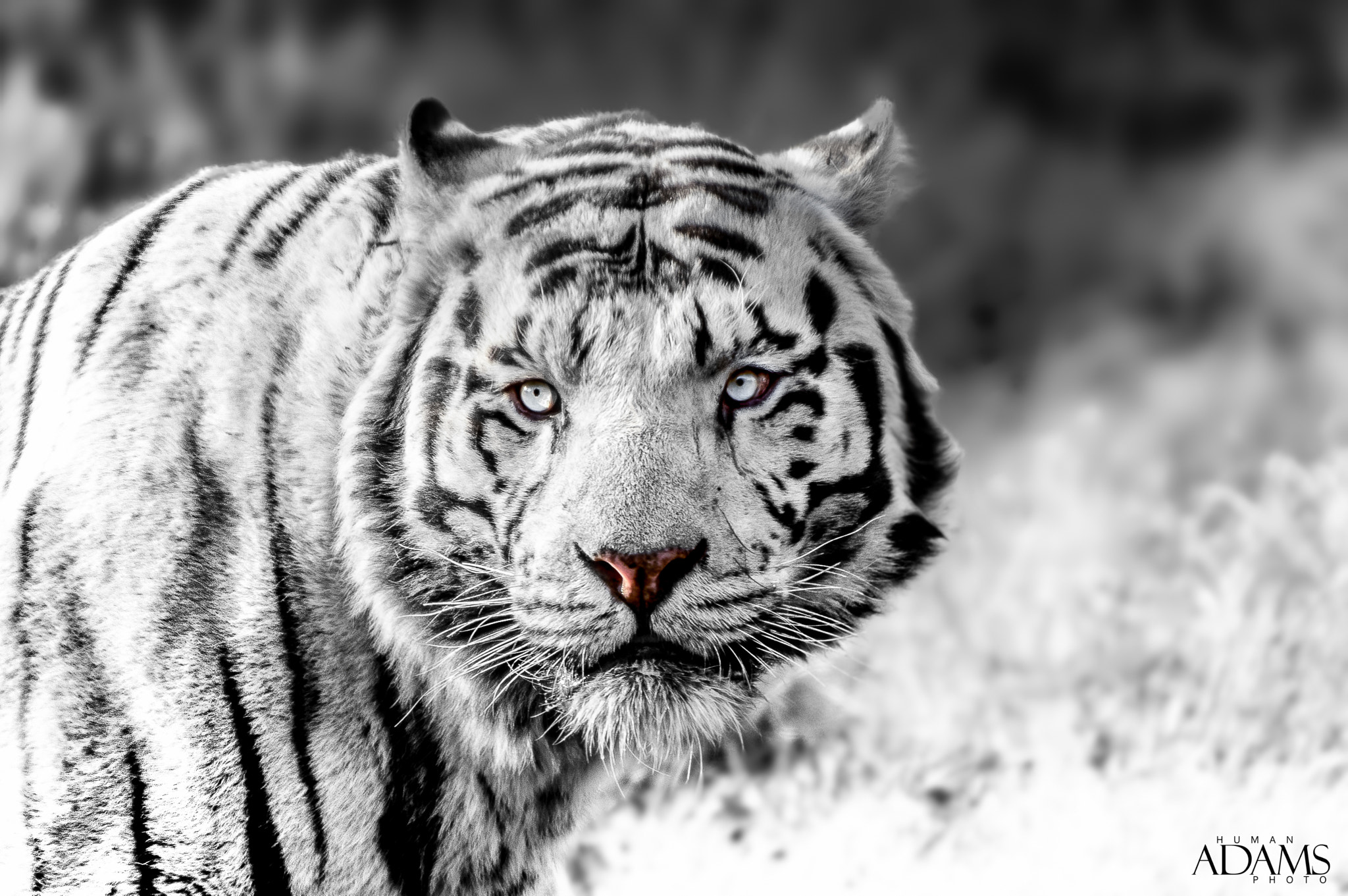 Photograph Siberian Tiger Black and White  by Human Adams on 500px