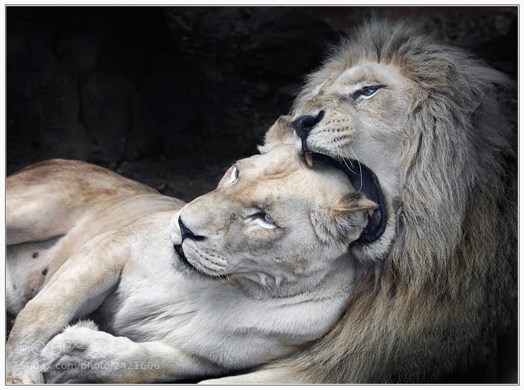 Photograph White Lions in Love by Klaus Wiese on 500px