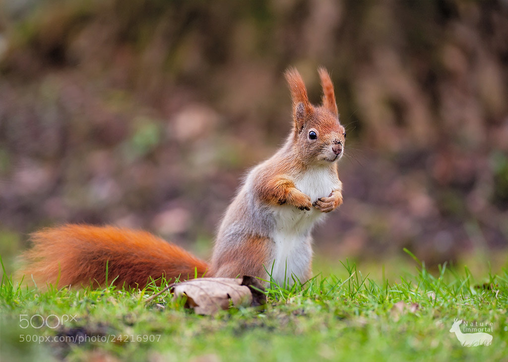 Photograph Red squirrel in Bavarian cemetery by Neil Burton on 500px