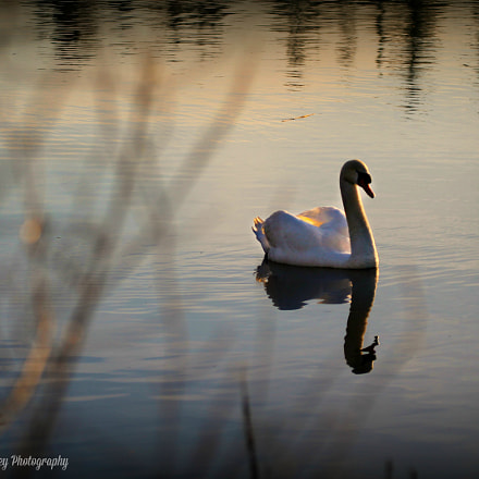 Sunset Swan, Canon EOS REBEL T3, Canon EF 100-400mm f/4.5-5.6L IS
