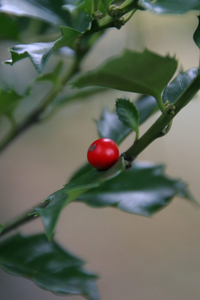 Photograph Lone Holly Berry by Brian Fitzgerald on 500px