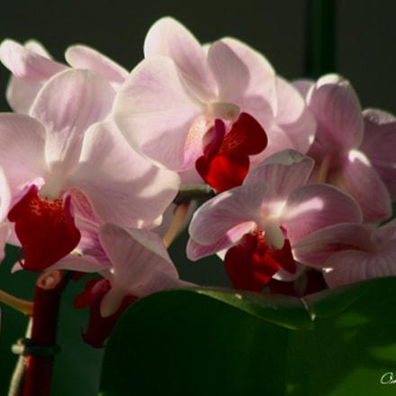Phalaenopsis True Pink, Canon EOS DIGITAL REBEL XSI, Canon EF 75-300mm f/4-5.6 IS USM