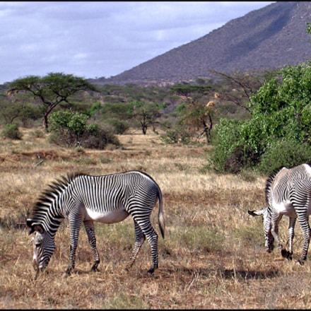 Grevy s Zebras in, Nikon E3100