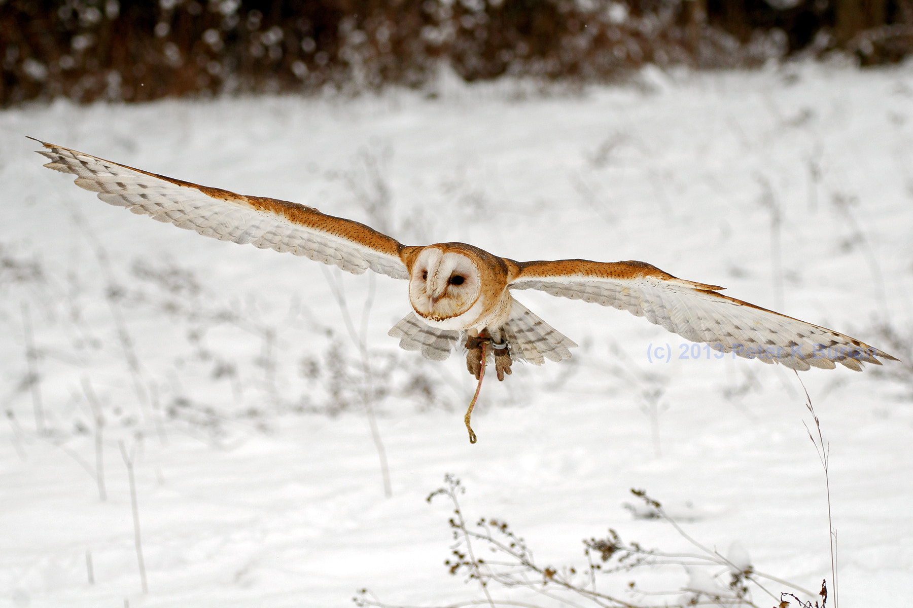 Photograph Barn Owl, in flight by Peter K Burian on 500px