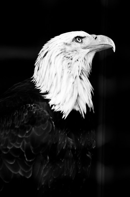 Photograph Eagle by sander chauvel on 500px