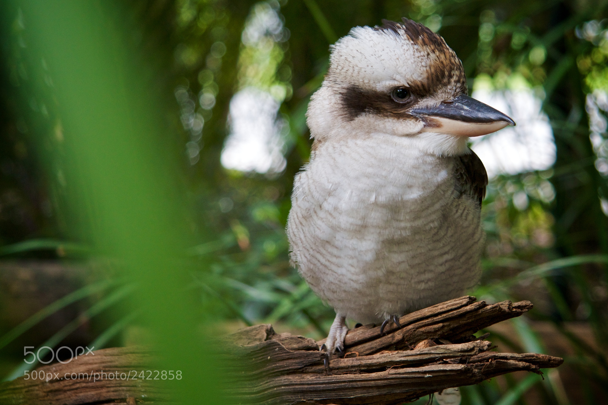 Photograph Laughing Kookaburra by Anssi Korpilaakso on 500px