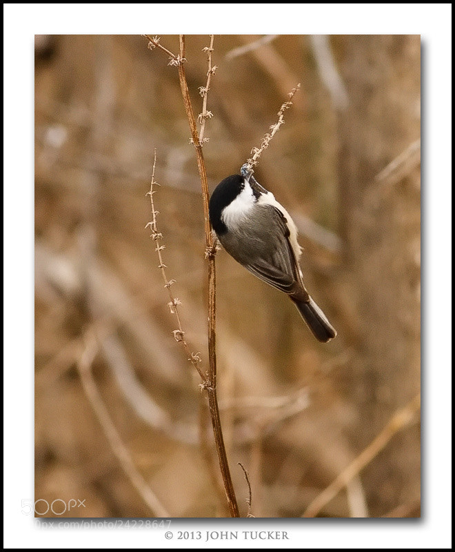 Photograph Carolina Chickadee by John Tucker on 500px