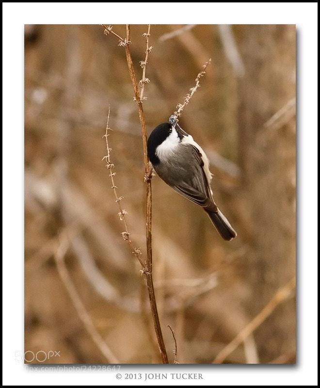 Photograph Carolina Chickadee by John Tucker on 500px