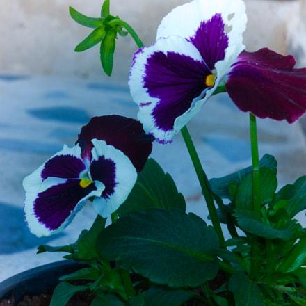 flower, Nikon COOLPIX S8100