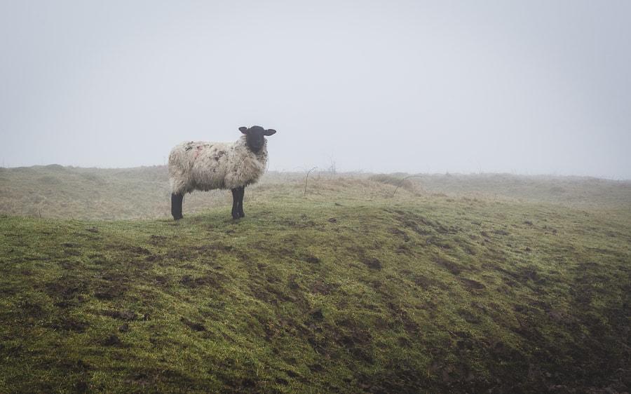Sheep, автор — Antony Cooper на 500px.com