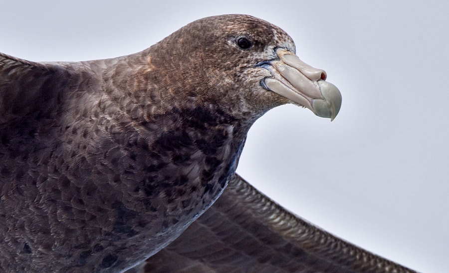 Southern Giant Storm Petrel, Falkland Islands by Brian Jobson on 500px.com