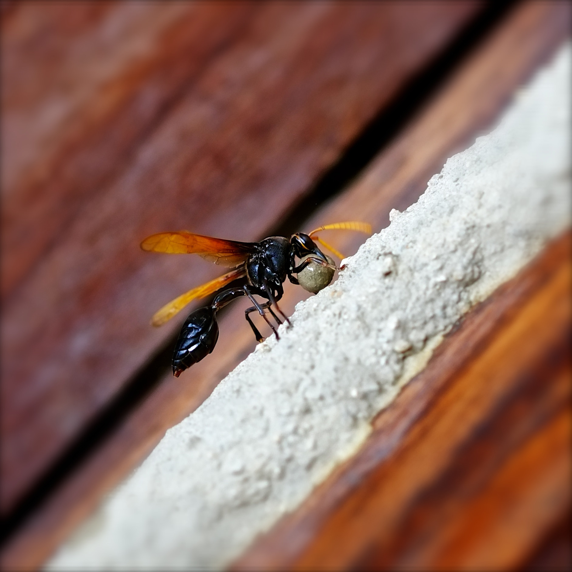 Photograph Wasp by Rufo Taguiam on 500px