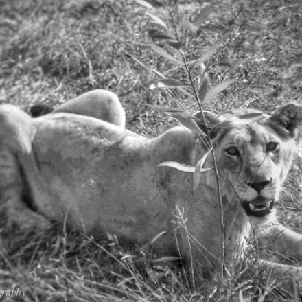 Lioness, Panasonic DMC-XS1
