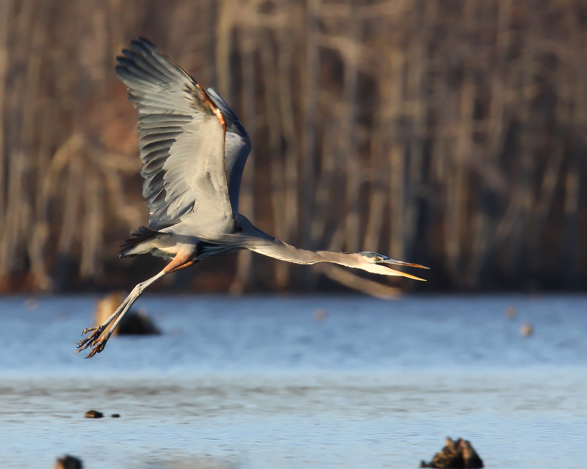 Photograph Great Blue Heron by Chris Newberry on 500px