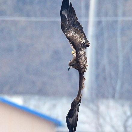 White-tailed Sea Eagle, Nikon D4, Sigma 150-600mm F5-6.3 DG OS HSM   S