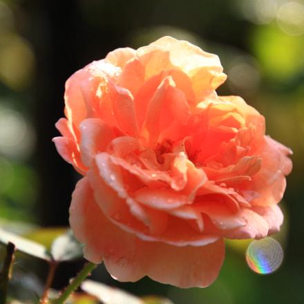 Rose bloom, Canon EOS KISS X7I, Tamron 16-300mm f/3.5-6.3 Di II VC PZD Macro