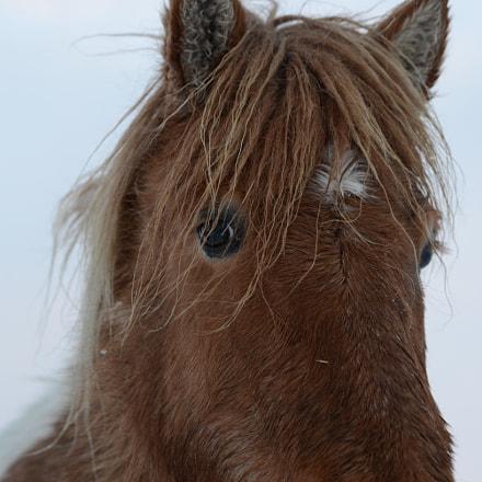 Icelandic Horse, Nikon D600, Tamron SP 70-300mm f/4-5.6 Di VC USD (A005)