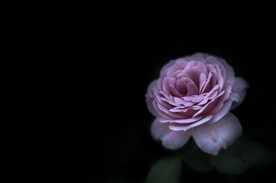 Photograph Rose by Barton Mitchell on 500px