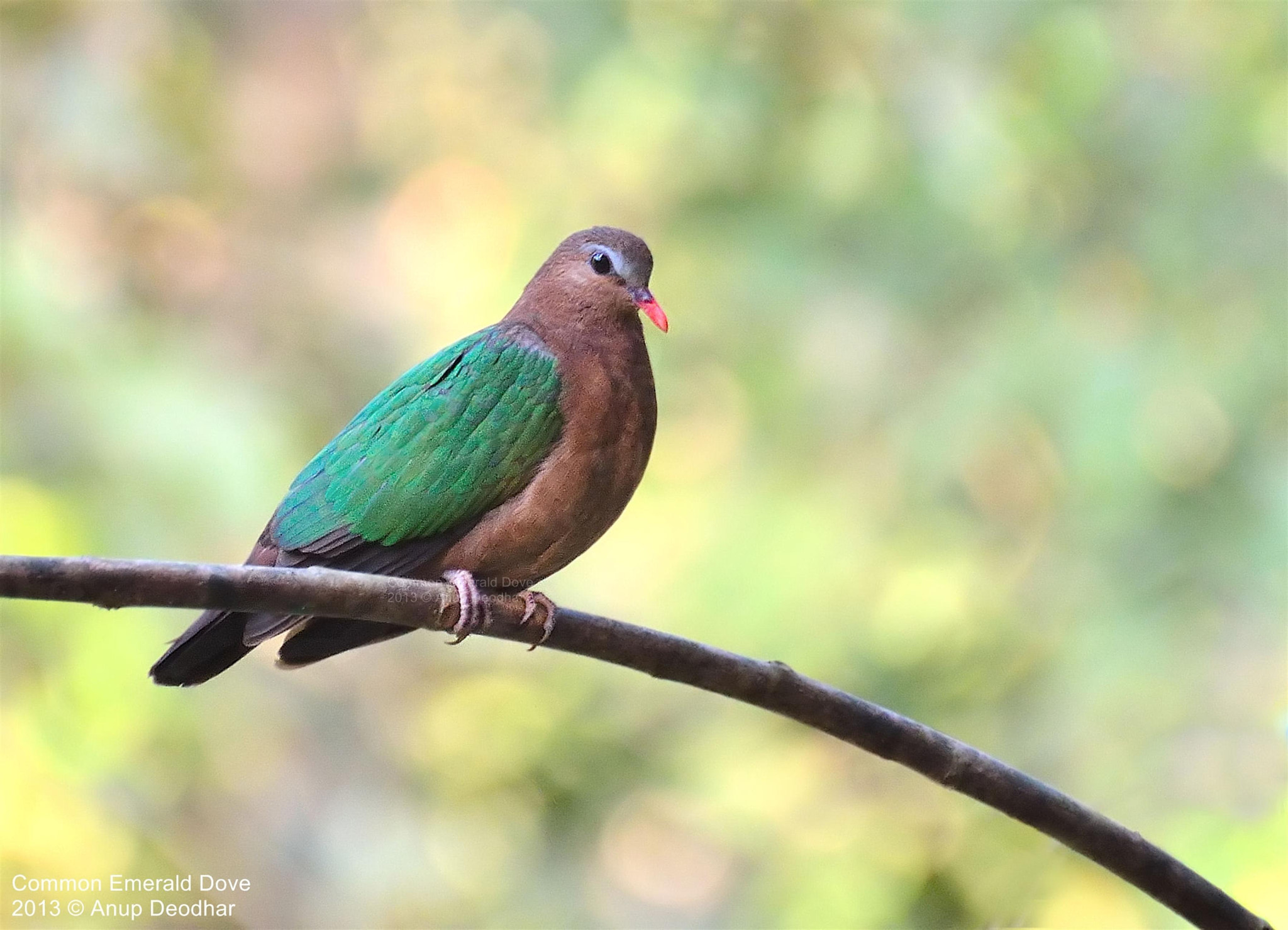 Photograph Common Emerald Dove by Anup Deodhar on 500px