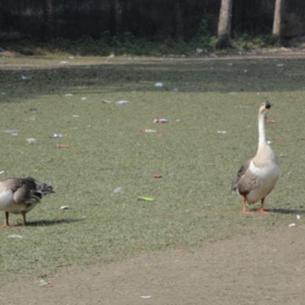 duck, Sony DSC-W570
