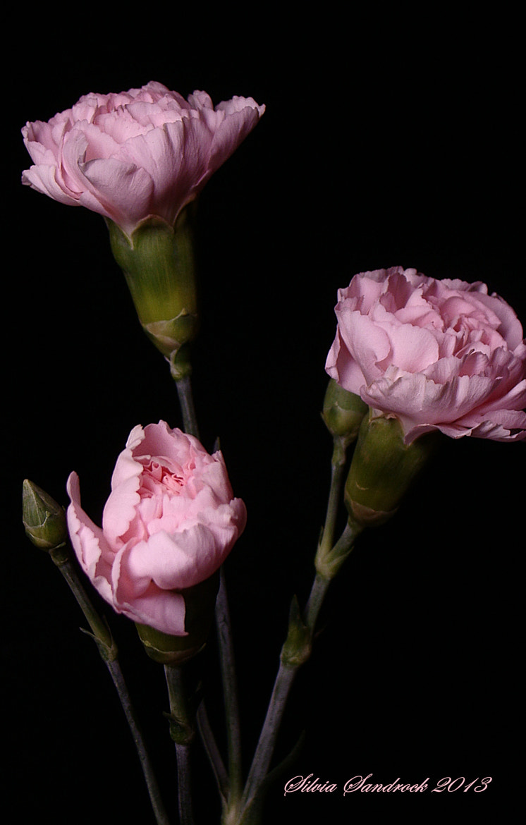 Photograph Pink on Black by Silvia Sandrock on 500px