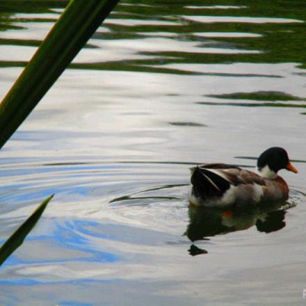 Duck, Canon IXUS 165