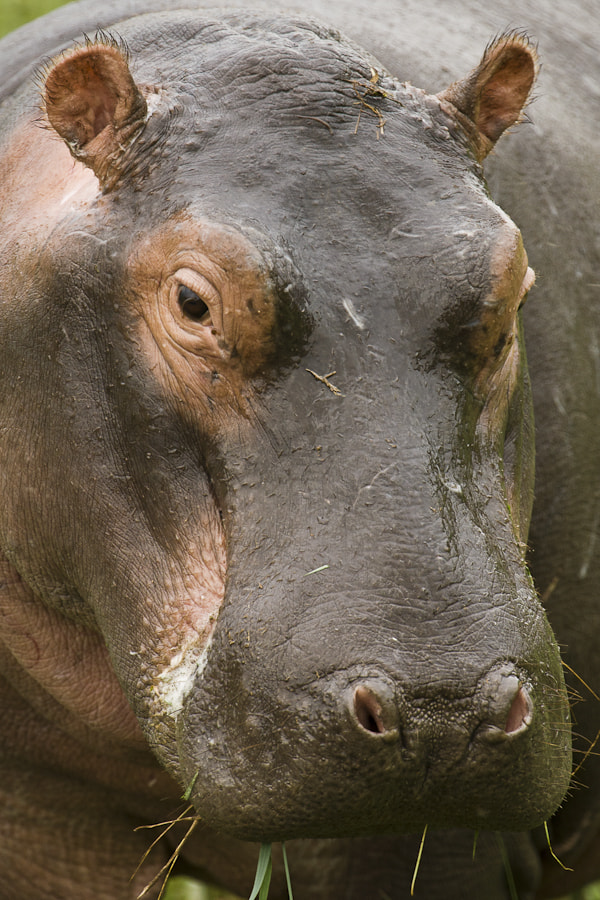 Photograph Hippo Portrait by Mario Moreno on 500px
