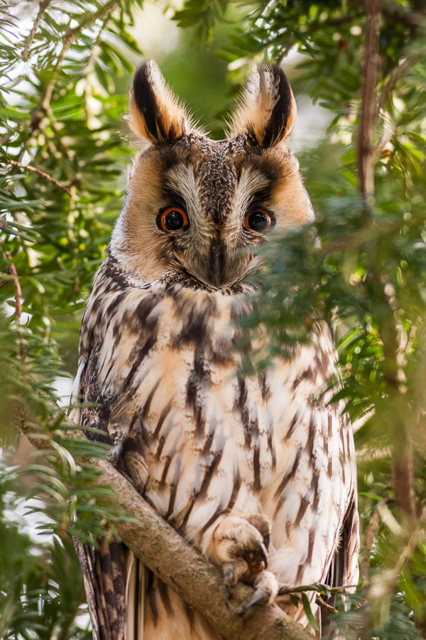 Photograph Long-eared Owl by Marc Pihet on 500px