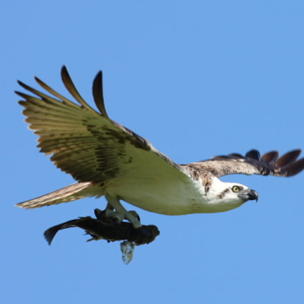 An Osprey catches a, Canon EOS-1D MARK II N, Canon EF400mm f/2.8L IS USM