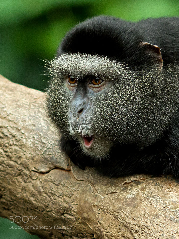 Photograph Blue monkey  by Bruce Valentine on 500px