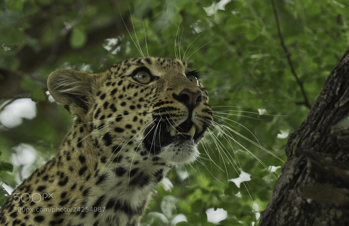 Photograph Leopardess by Ken Watkins on 500px