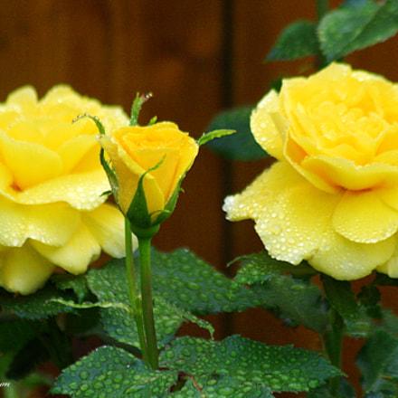 Sunsprise Rose, Canon EOS DIGITAL REBEL XSI, Canon EF 75-300mm f/4-5.6 IS USM