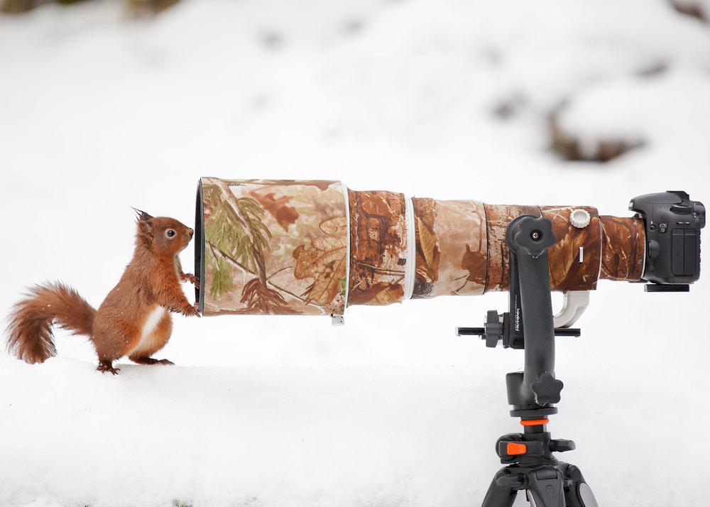 Photograph Red Squirrel Posing For Portrait  by Giedrius Stakauskas on 500px