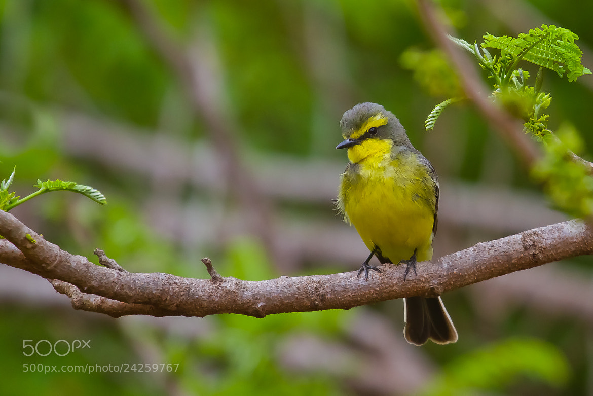 Photograph Yellow-browed Tyrant (Satrapa icterophrys) by Bertrando Campos on 500px