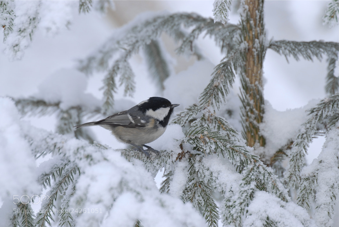 Photograph Parus ater by Jere Ketola on 500px