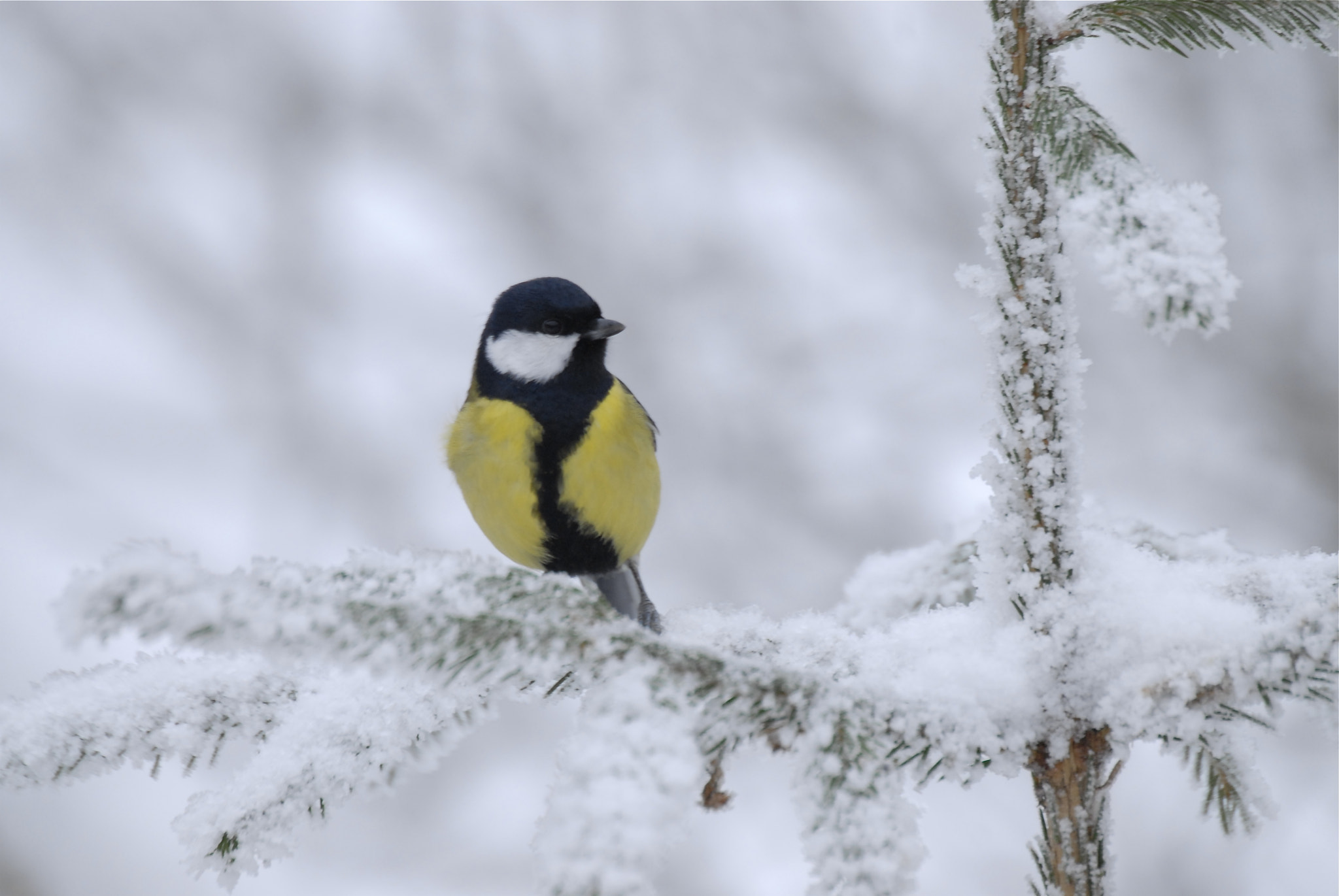 Photograph Parus major by Jere Ketola on 500px