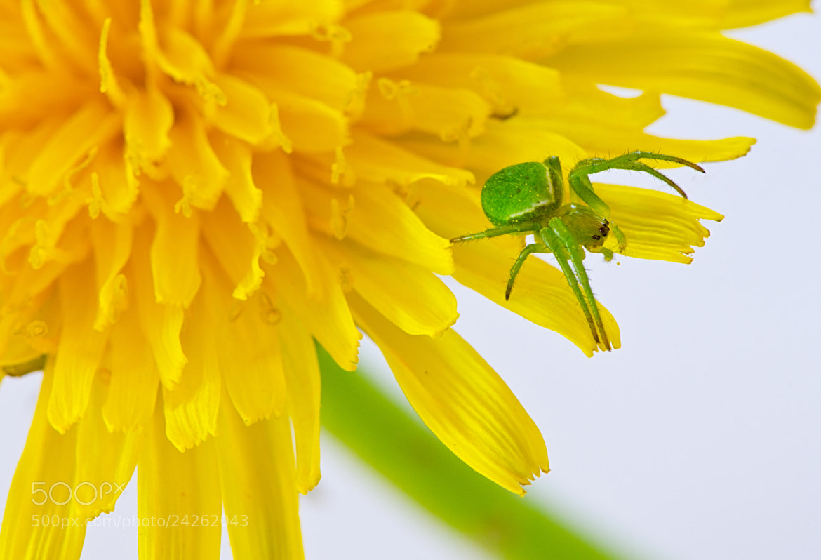 Photograph Green spider & Yellow flower 2 by Wayne Tan on 500px