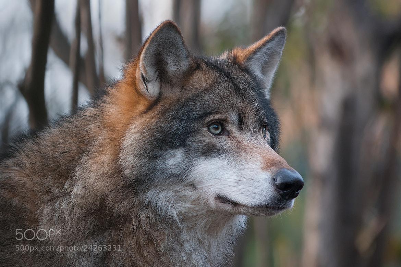 Photograph Eurasian Wolf by Rob Janné on 500px