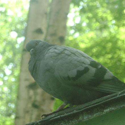Fat Pigeon, Sony DSC-S800
