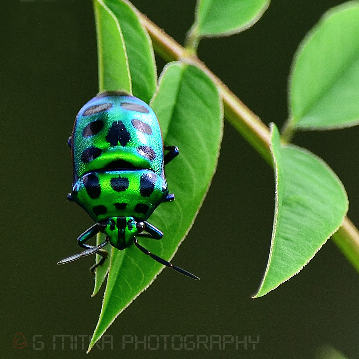 Photograph GREEN JEWEL BUG by Gourab Mitra on 500px