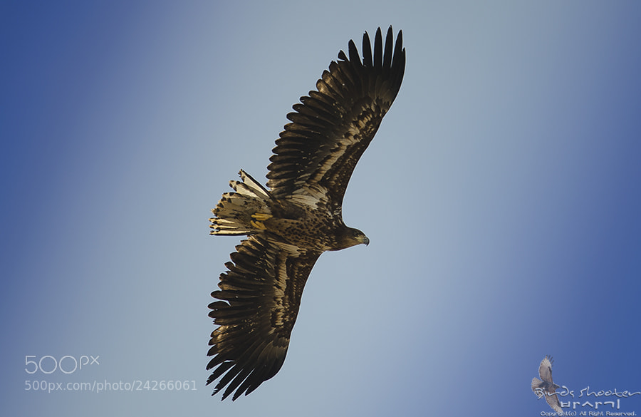Photograph White-Tailed Sea Eagle by basaki 바사기 on 500px