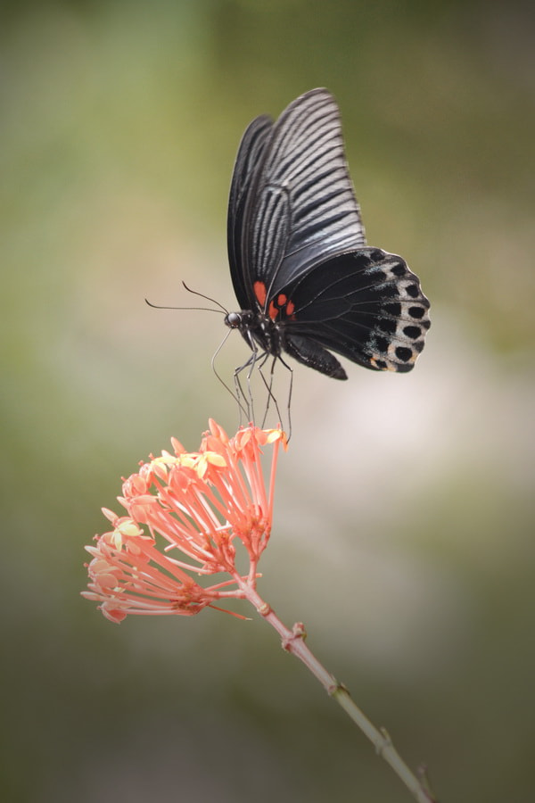 Photograph BLACK QUEEN by Agung Harsono Pirmo on 500px