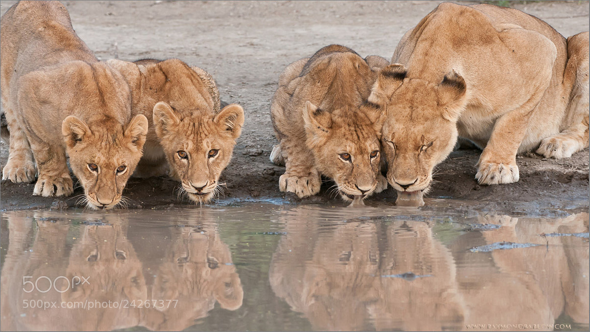 Photograph Lion Family by Raymond Barlow on 500px