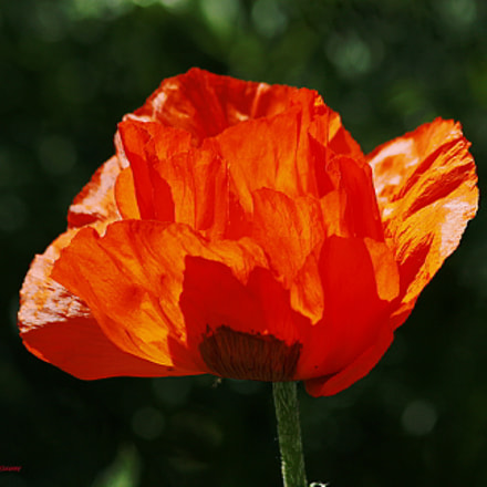 Red Poppy, Canon EOS DIGITAL REBEL XSI, Canon EF 75-300mm f/4-5.6 IS USM