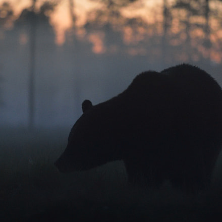 Big male brown bear, Nikon D4, AF-S VR Zoom-Nikkor 70-200mm f/2.8G IF-ED