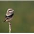 Arabian Grey Shrike or Southern Grey Shrike Juv.