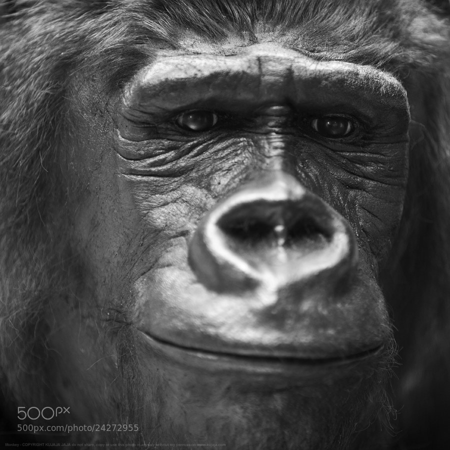 Photograph Gorilla by K J on 500px