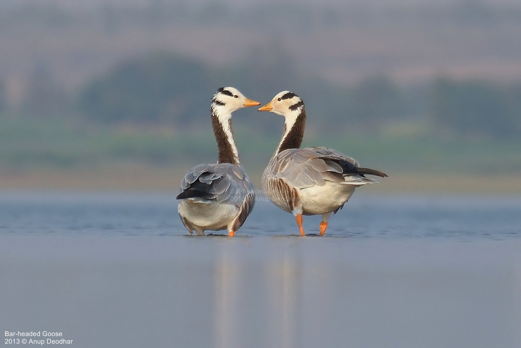 Photograph Bar-headed Goose by Anup Deodhar on 500px