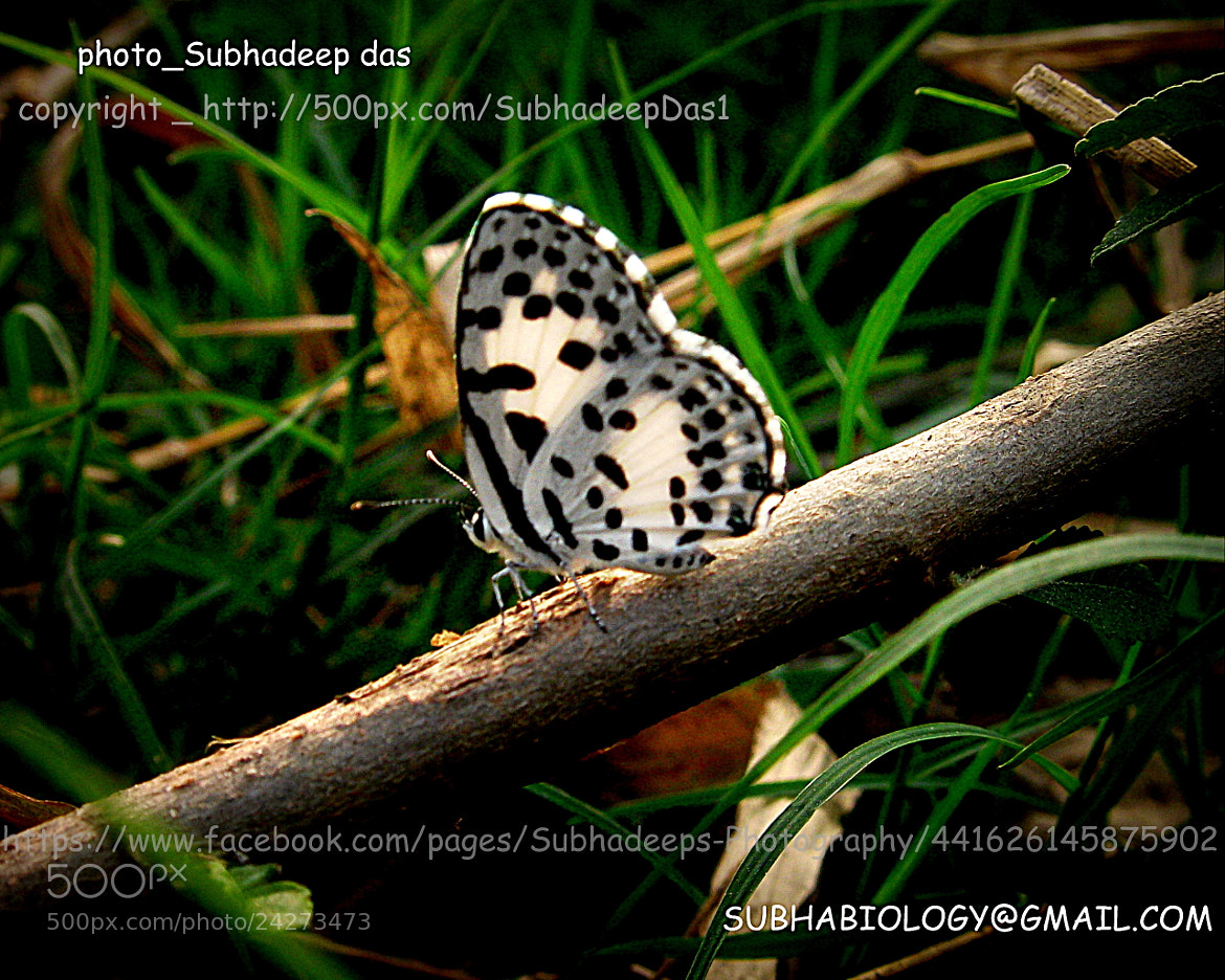 Photograph The Common Pierrot (Castalius rosimon) by SUBHA   on 500px