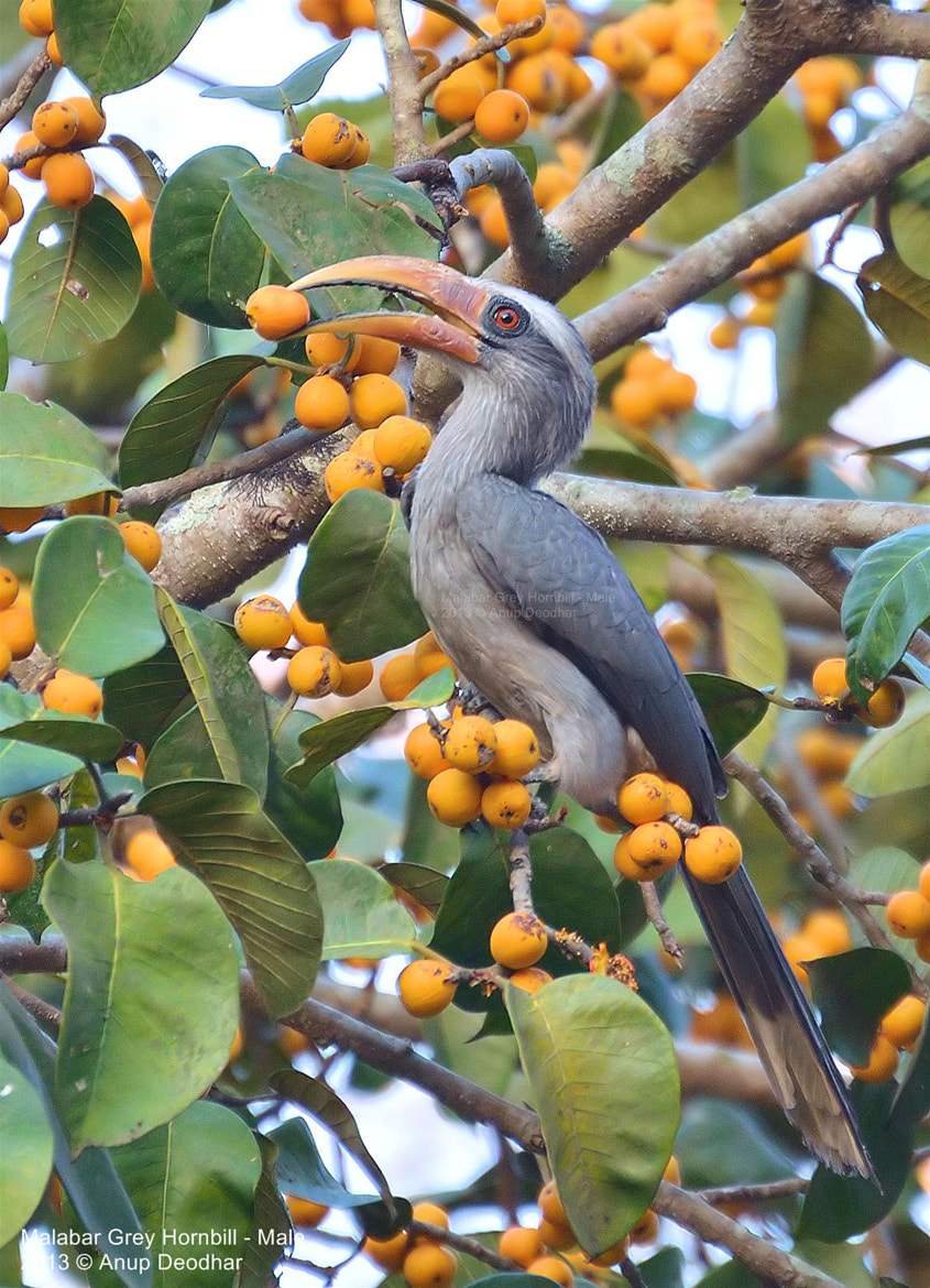 Photograph Malabar Grey Hornbill - Male by Anup Deodhar on 500px